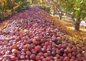 wardak apple